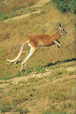 Kangaroo, Sturt National Park: a great place to visit in New South Wales.  Image &copy Destination NSW; Sally Mayman. This photo sponsored by Energy Efficient Housing Category.