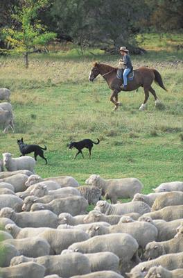 Sheep muster, Tenterfield: a great place to visit in New South Wales.  Image © Unknown Photographer; Destination NSW. This photo sponsored by Business Planning Category.