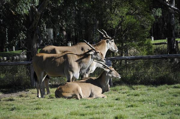 Antelopes at Western Plains zoo: a great place to visit in New South Wales.  Image &copy Gecko Photographics; Destination NSW. This photo sponsored by Asbestos Removal Category.
